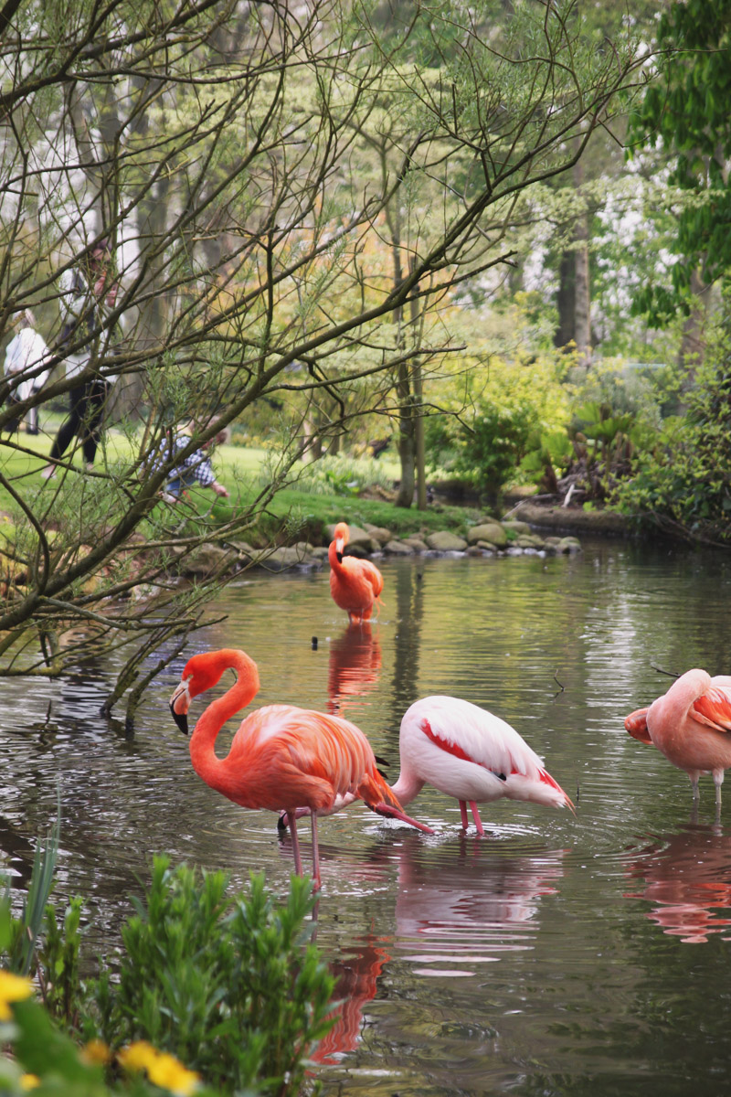Coton Manor Gardens, Flamingos