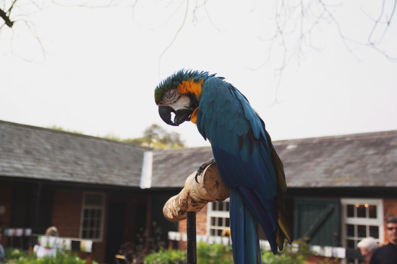 Coton Manor Gardens, Blue Macaw