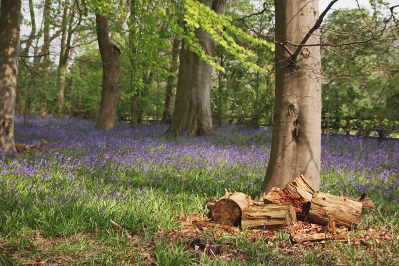 Read Coton Manor Gardens – The Bluebell Wood by April