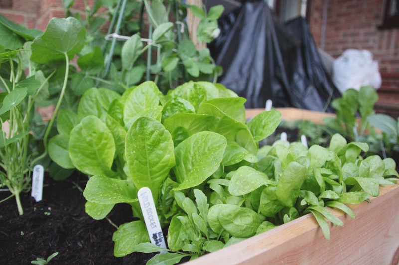 Raised Vegetable Garden Lettuce