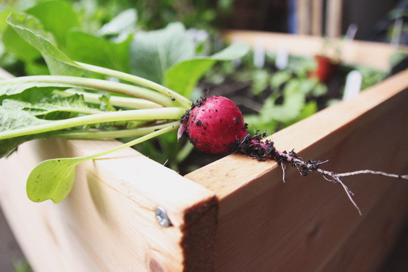 Raised Vegetable Garden Harvest Radish