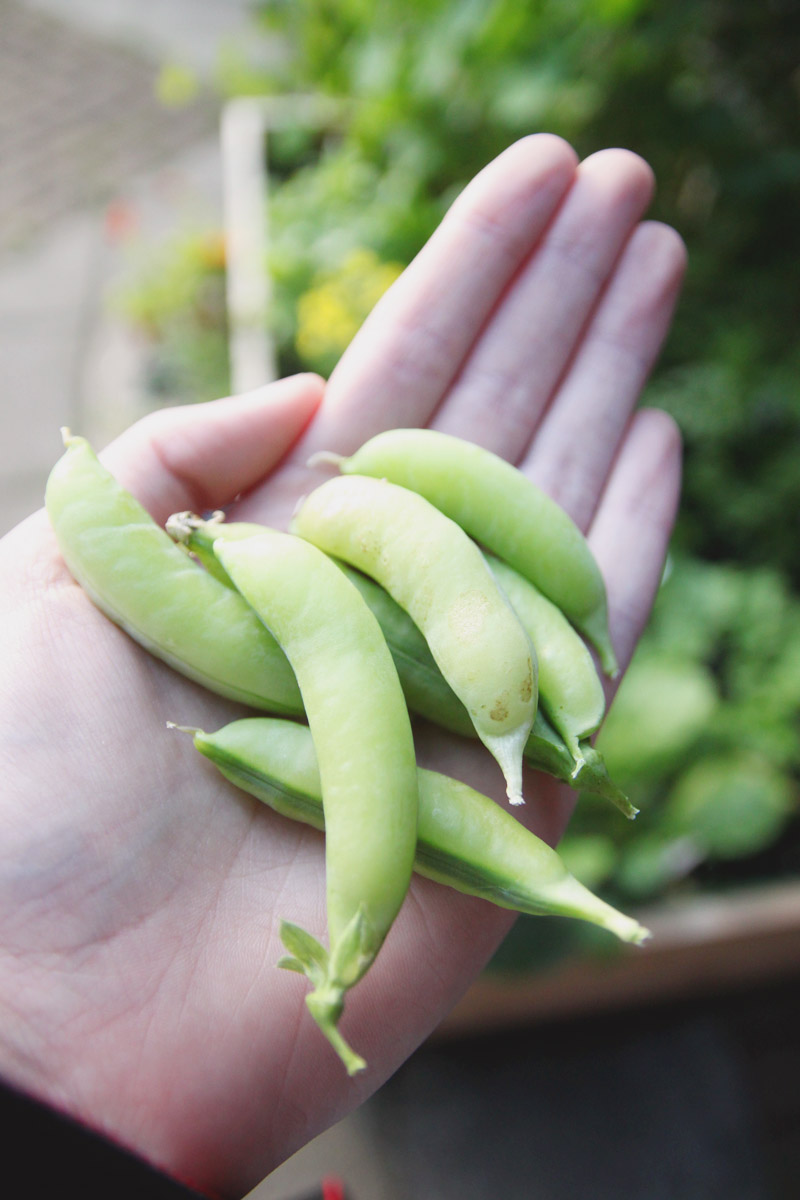 April Everyday Raised Vegetable Garden Peas