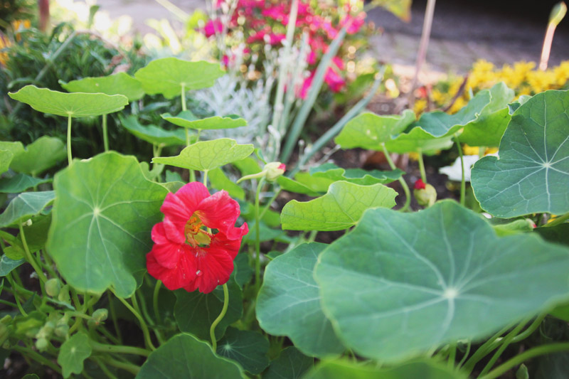 April Everyday Raised Vegetable Garden Nasturtiums