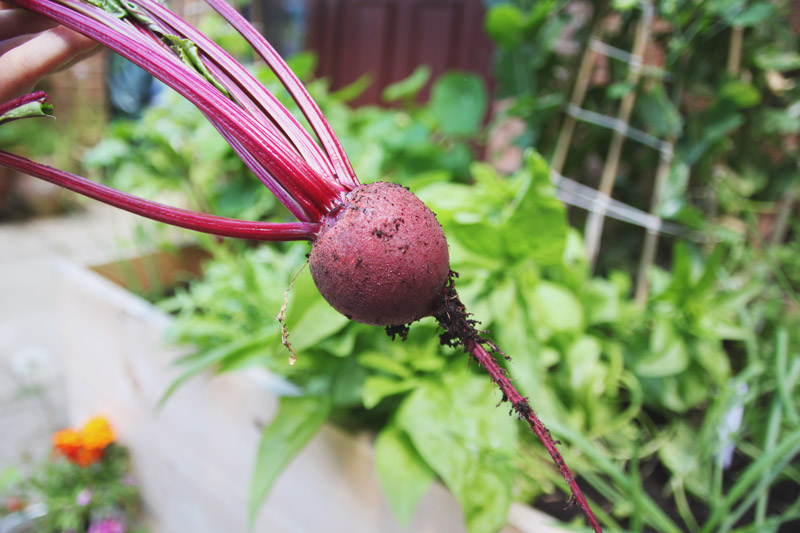 April Everyday Raised Vegetable Garden Beetroot