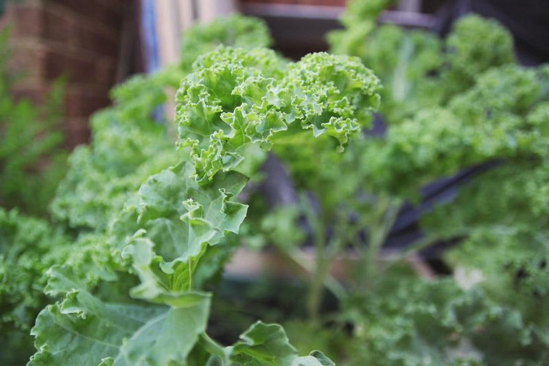 Raised Vegetable Garden Kale