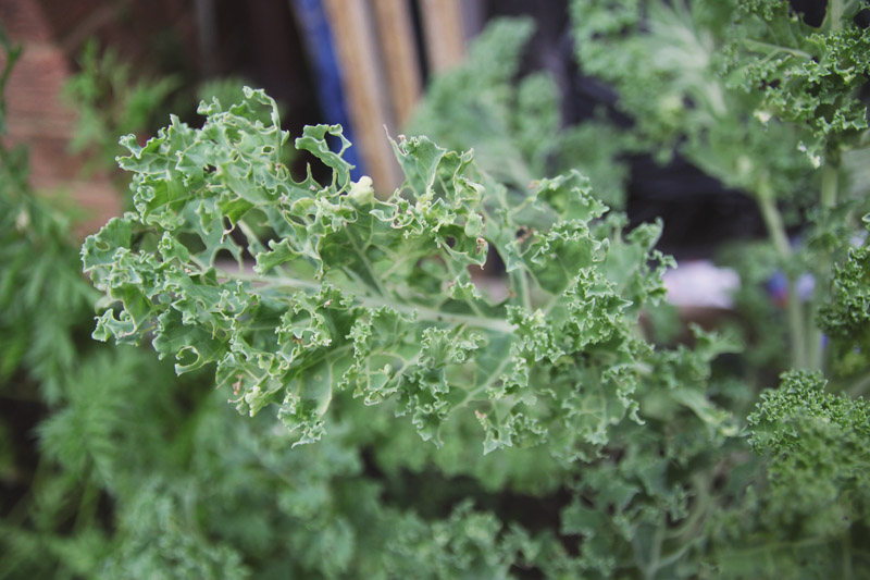 Raised Vegetable Garden Kale