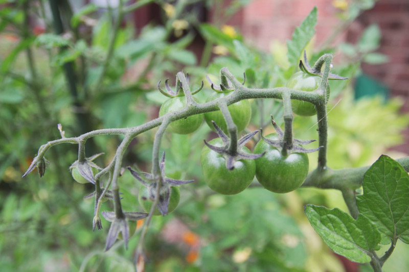 Raised Vegetable Garden Tomato 'Sungold'
