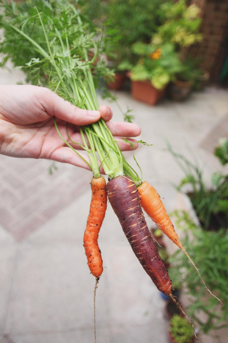 Raised Vegetable Garden Carrots: Amesterdam 2, Purple Haze and Nantes