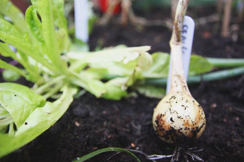 Raised Vegetable Garden - Onions