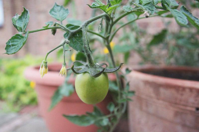 Raised Vegetable Garden - Tomatoes