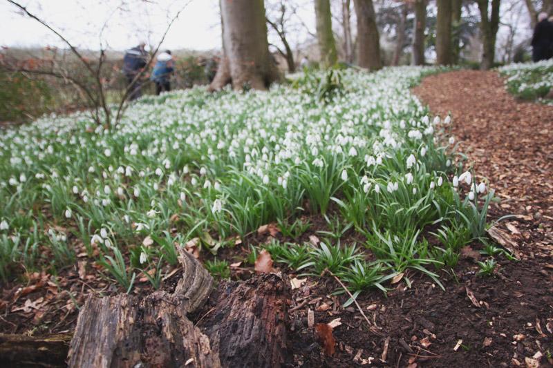 Coton Manor Gardens Snowdrops