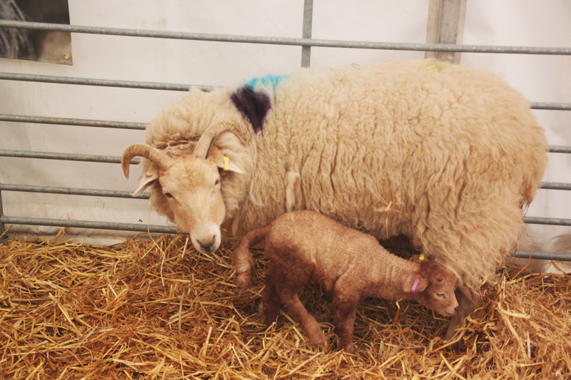 Read Lambing Season at Wimpole Farm by April