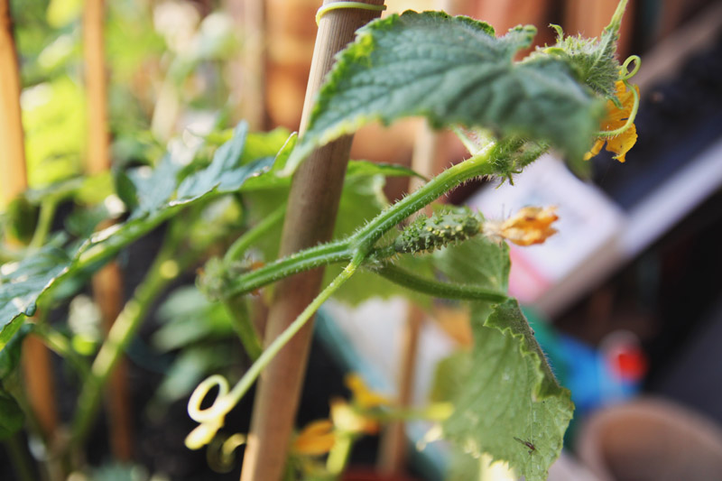 Vegetable Garden - cucumber marketmore