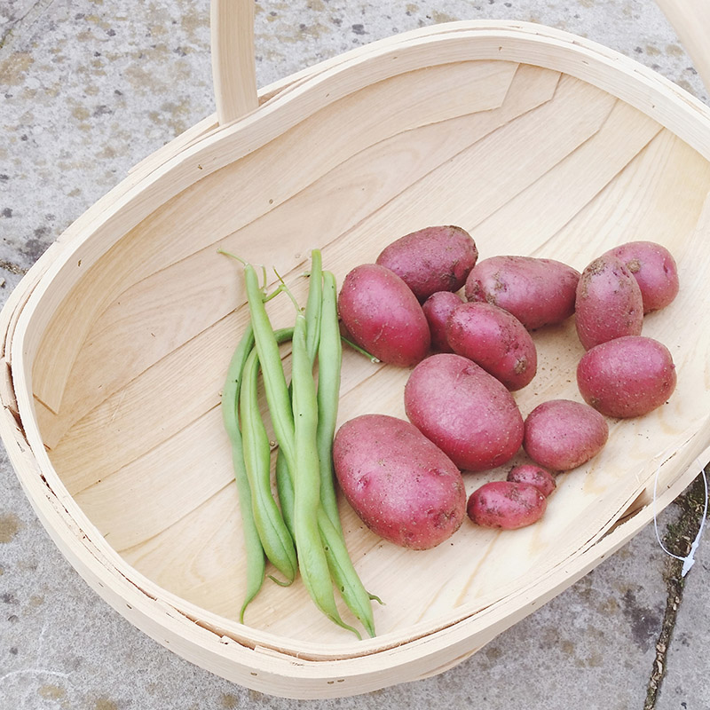 Vegetable Garden - red duke of york potatoes and cobra french beans