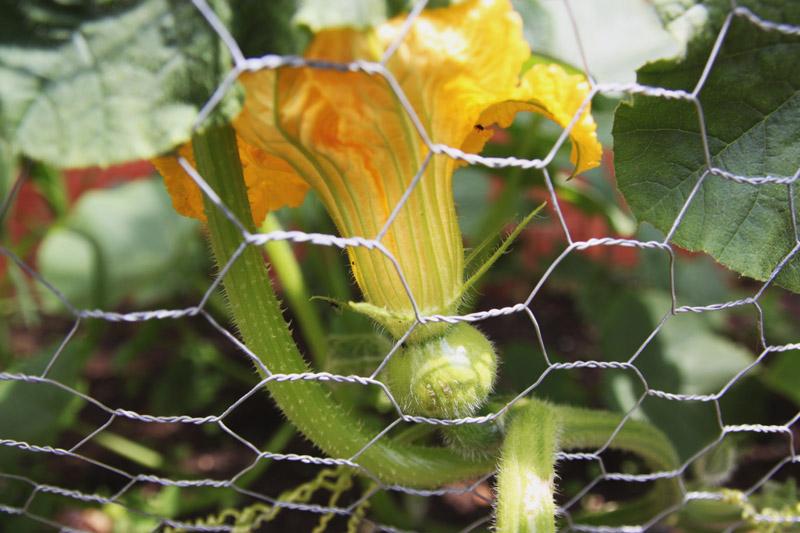Vegetable Garden - crown prince pumpkin
