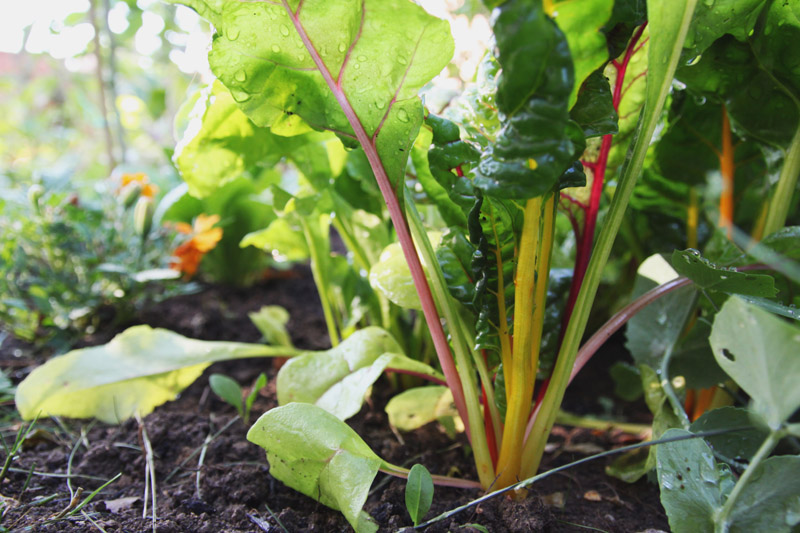 Vegetable Garden - swiss chard 'bright lights'