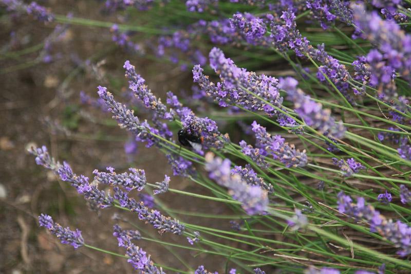 Hitchin Lavender Farm