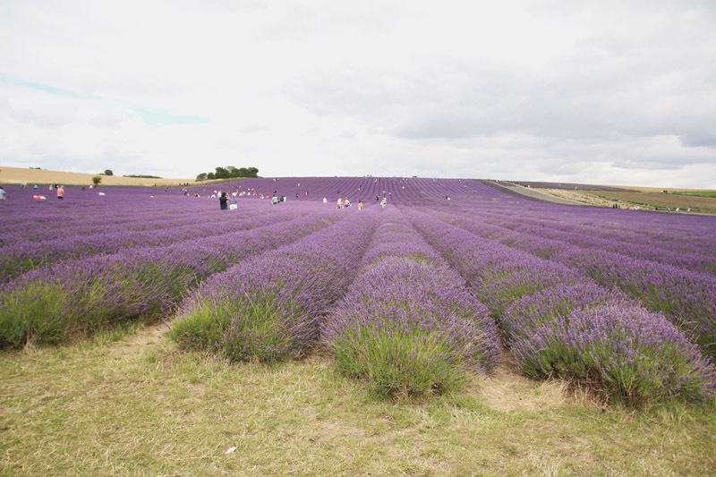 Read Hitchin Lavender Farm by April