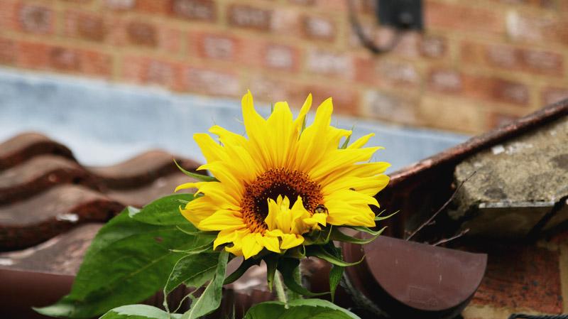 Vegetable Garden, Sunflower
