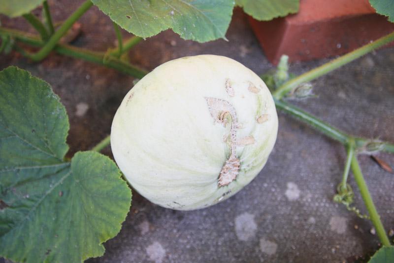 Vegetable Garden, Crown Prince Pumpkin