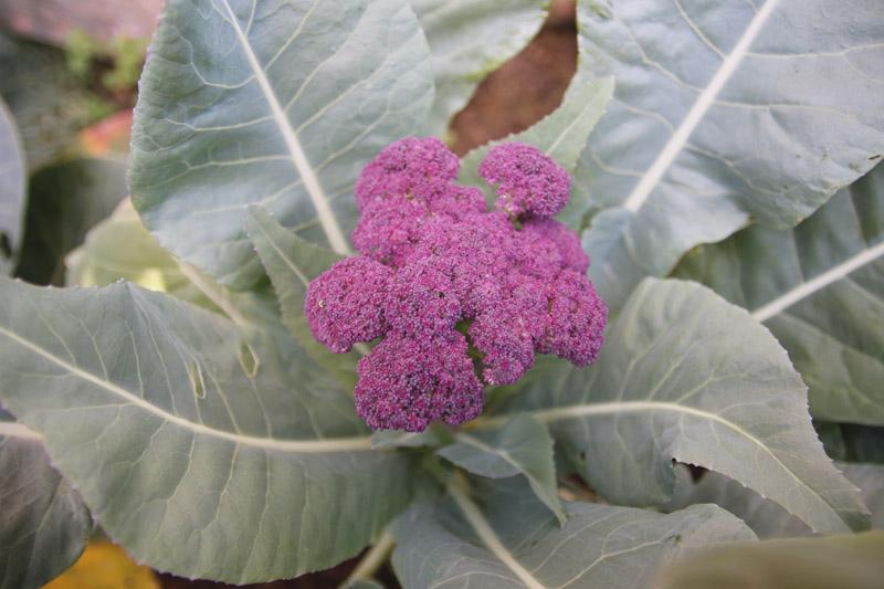 Vegetable Garden, Purple Cauliflower