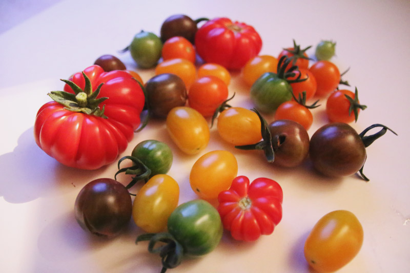 Vegetable Garden, Tomato Harvest