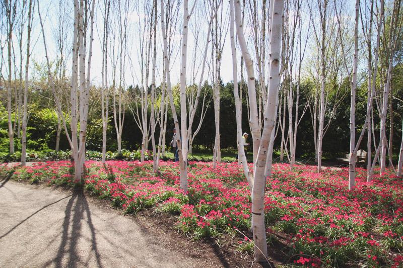 Anglesey Abbey, Cambridge Tulips, Tulipia