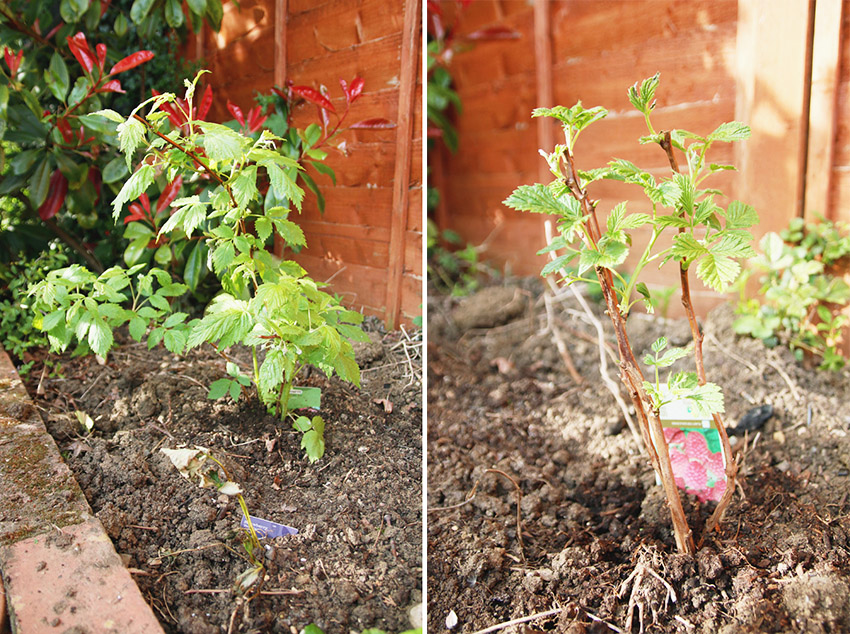 Vegetable Garden / Raspberry Plants