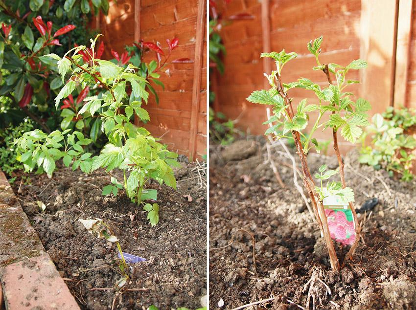 Vegetable Garden / Raspberry Plants
