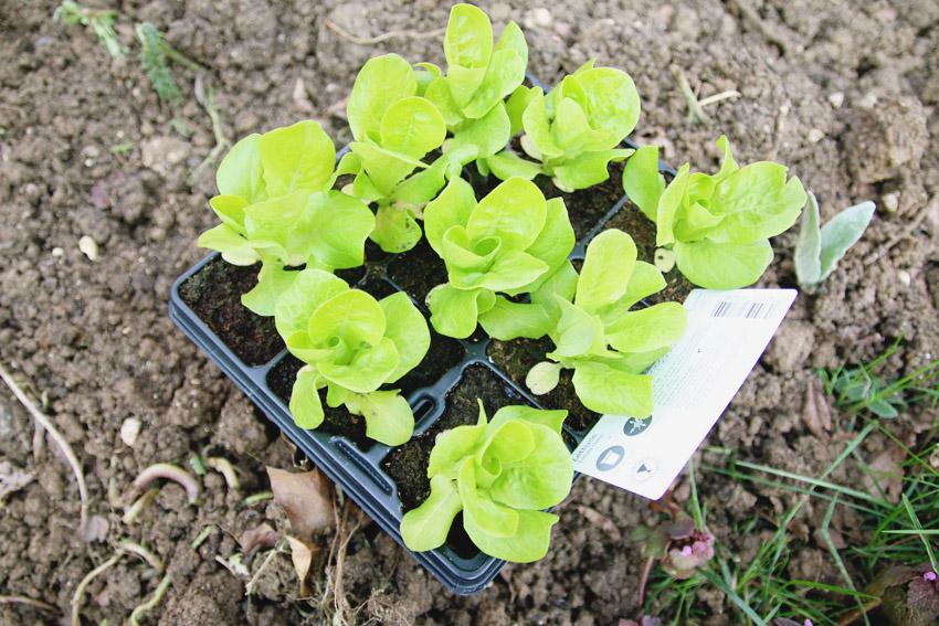 Vegetable Garden / Little Gem Lettuce