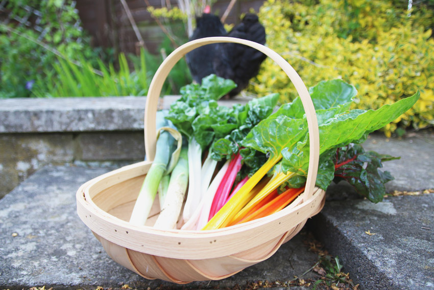 Vegetable Garden / Rainbow Chard Harvest