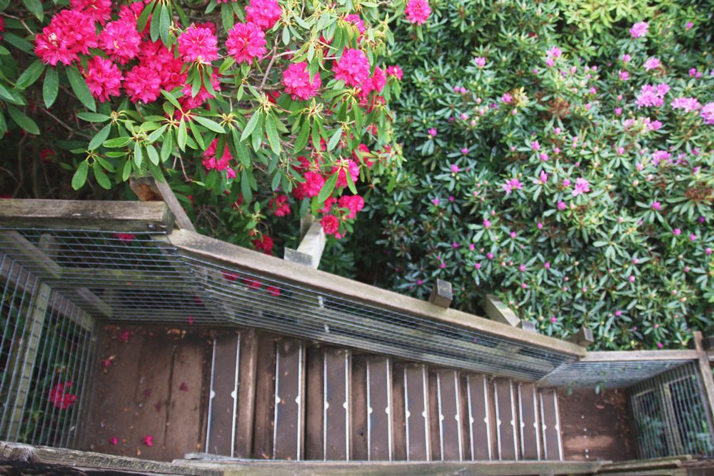 Rhododendrons at Sheringham Park