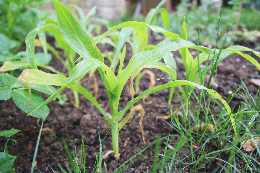 Vegetable Garden - Sweetcorn