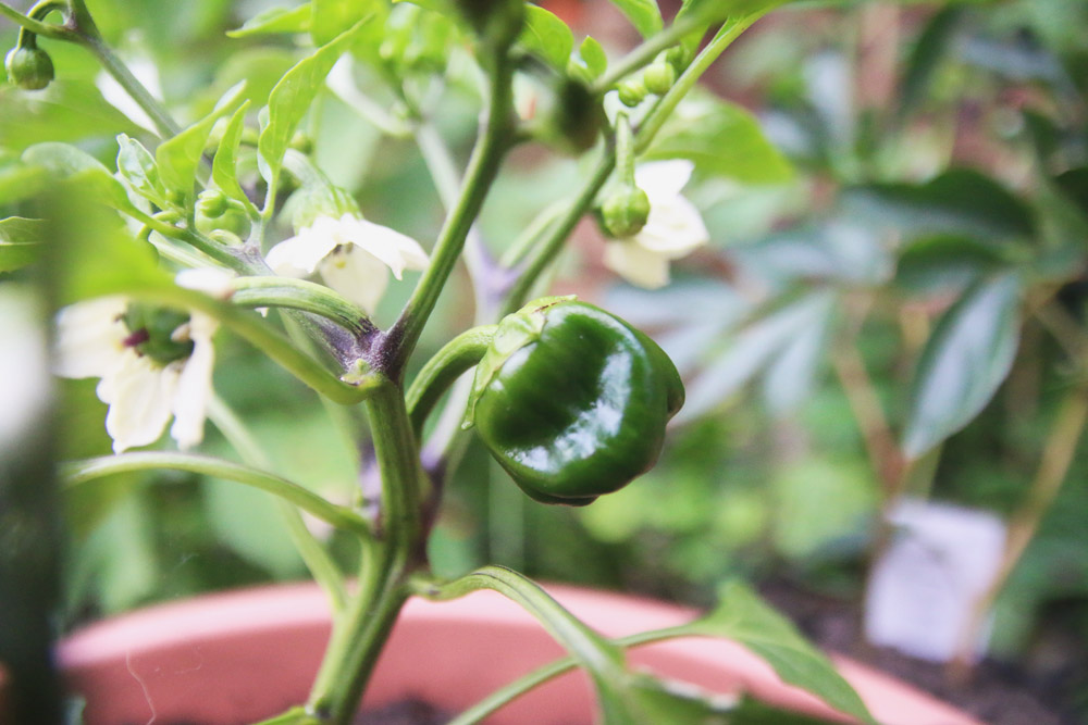 Vegetable Garden - Pepper