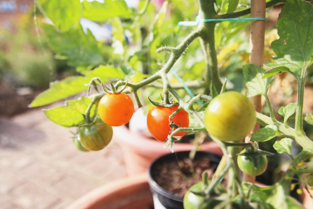Vegetable Garden - Sungold Tomatoes
