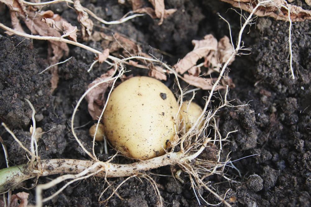 Vegetable Garden - Potatoes