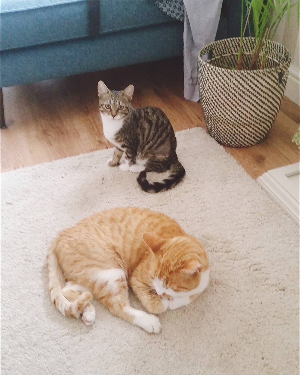 Tips for Introducing New Cats