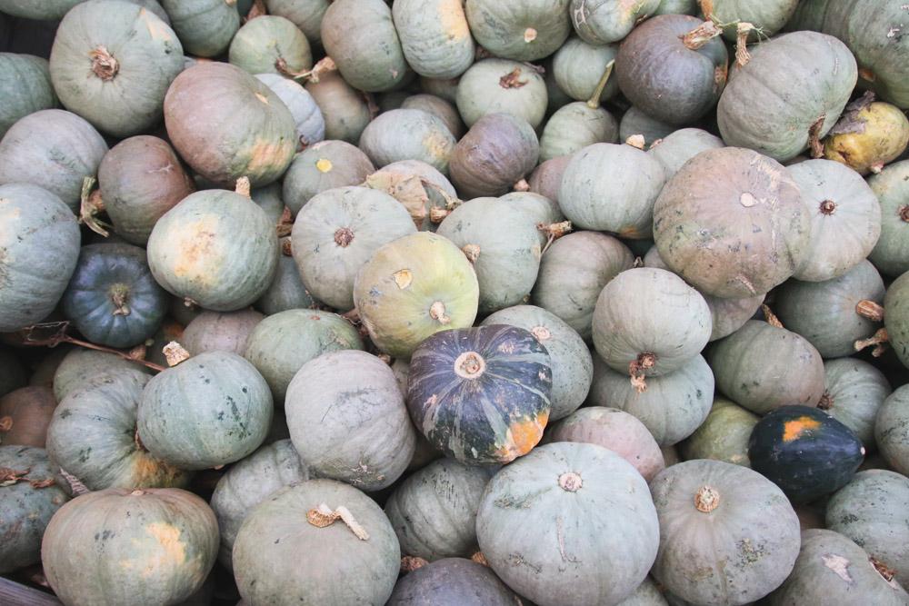Blue Pumpkins at PYO Pumpkins, Kent