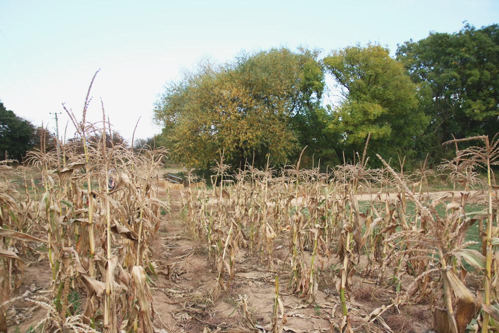 Corn at PYO Pumpkins, Kent