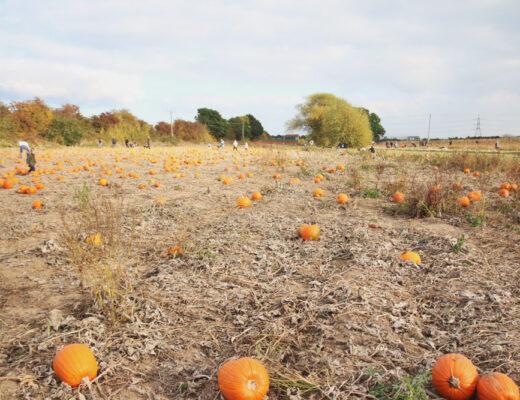 Pumpkin Field at PYO Pumpkins, Kent