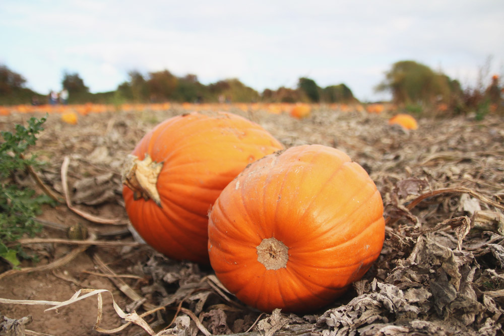 Read Pumpkin Picking at PYO Pumpkins by April