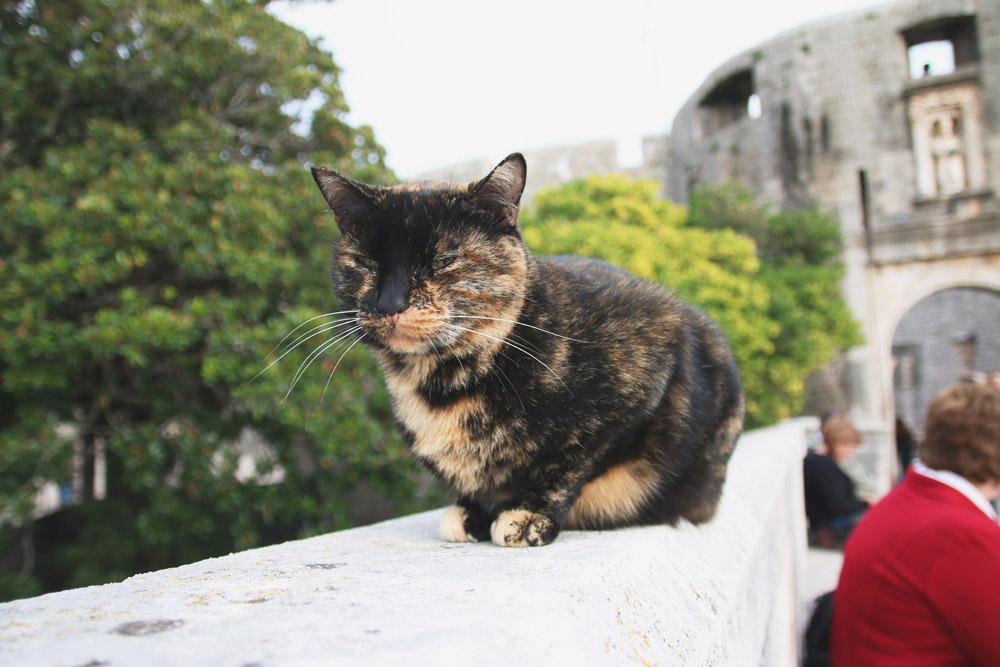 Old City Dubrovnik Cats