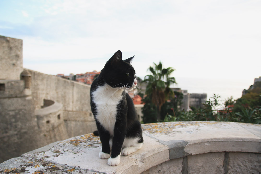 Dubrovnik Cat, Croatia