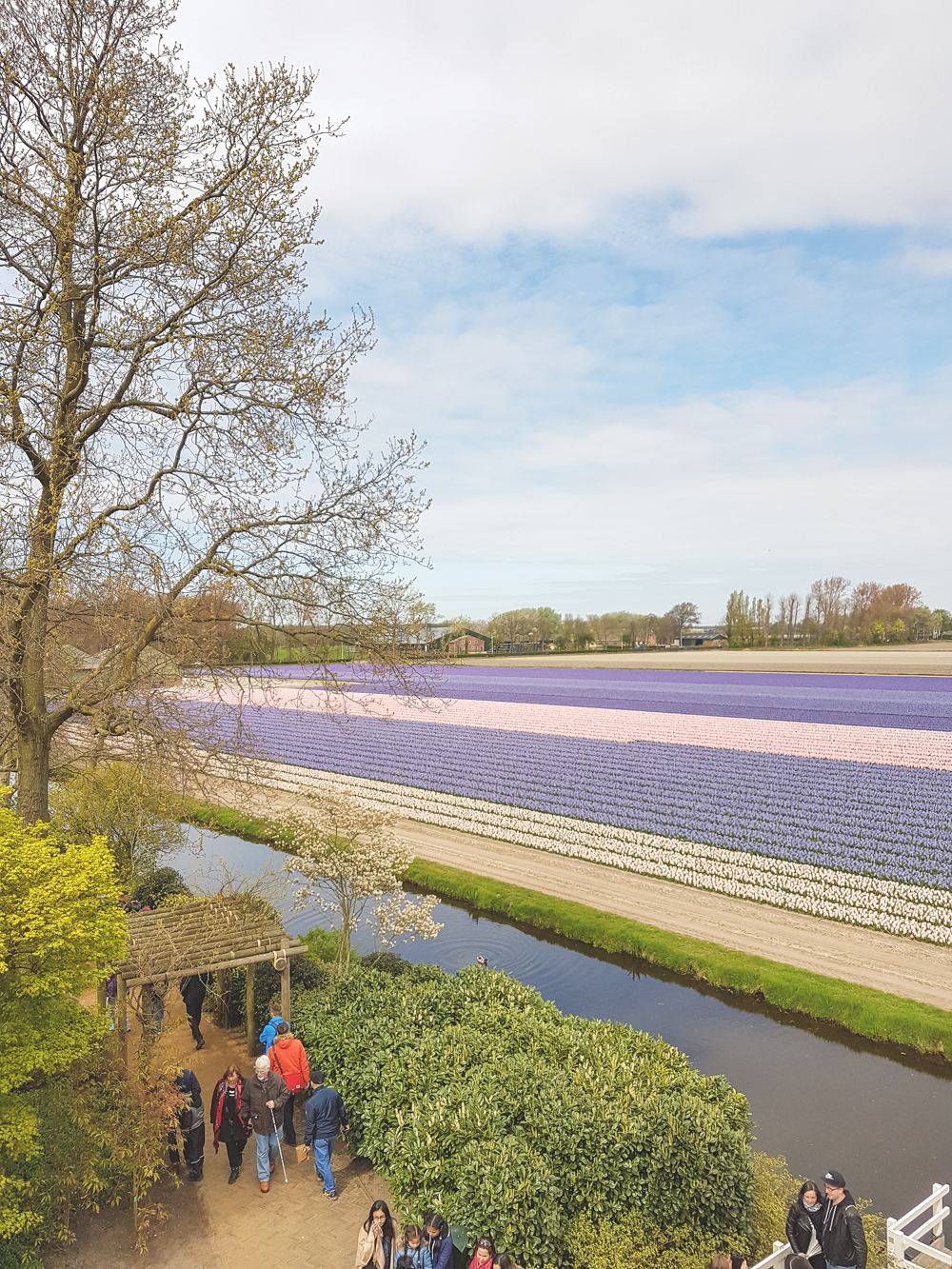 Field of Hyacinths at Keukenhof Gardens, Holland