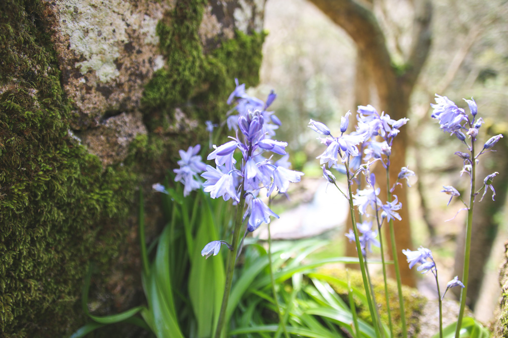 Bluebells at the Moorish Castle Walls in Sintra, Portugal
