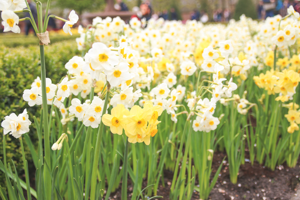 Daffodills at Keukenhof Gardens, Holland