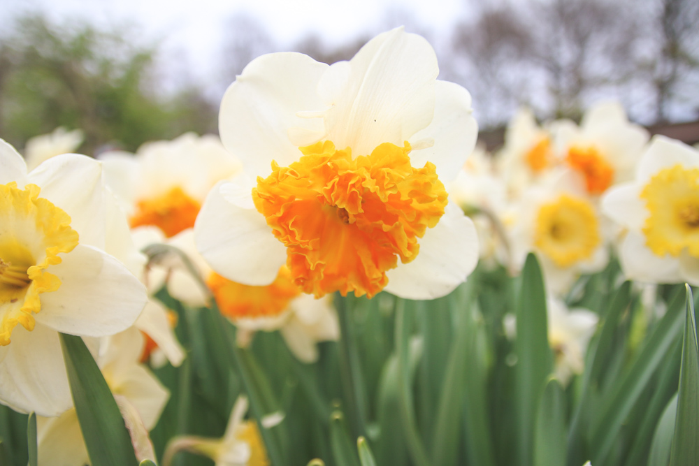 Daffodills at Keukenhof Gardens, Holland