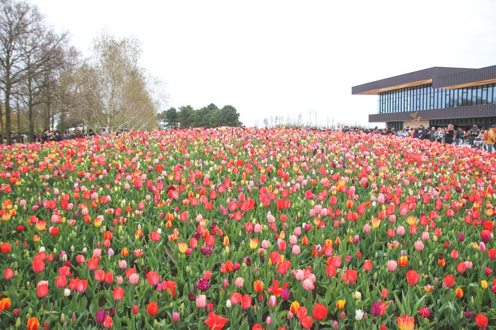 Tulips at Keukenhof Gardens, Holland