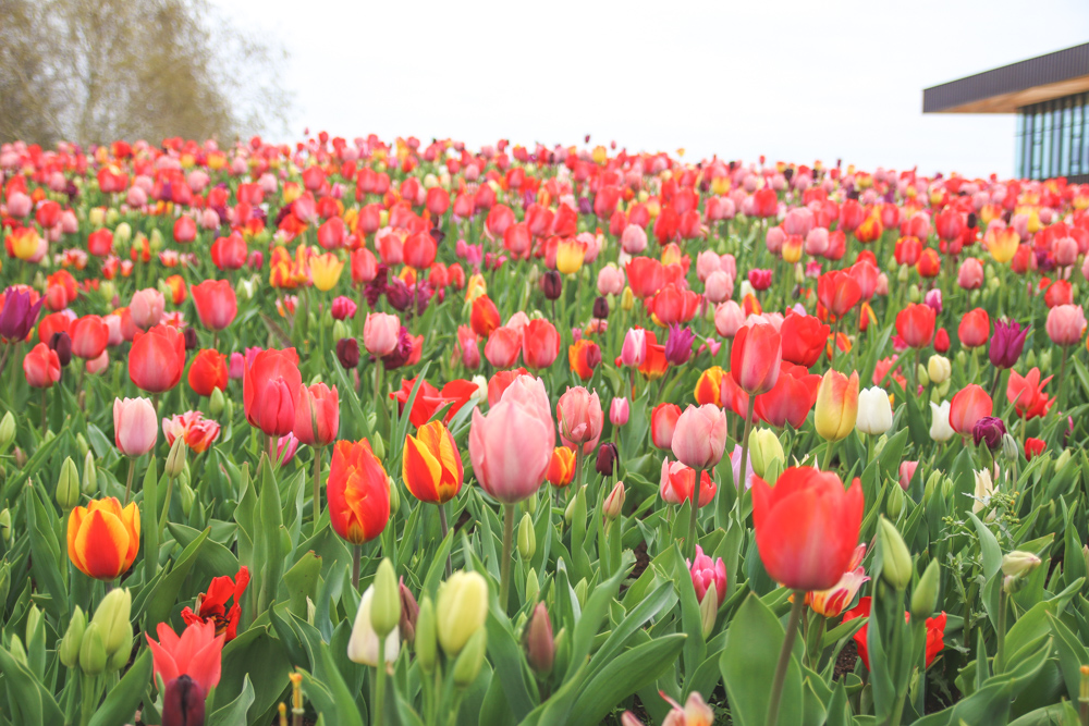 Tulips at Keukenhof Gardens, Holland