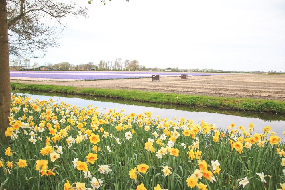 Spring Flowers at Keukenhof Gardens, Holland